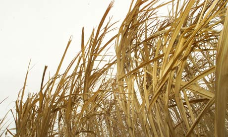 Miscanthus grass, a source of biomass energy