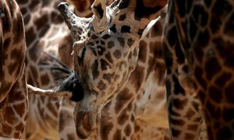 A Giraffe at the Everland amusement park Korea