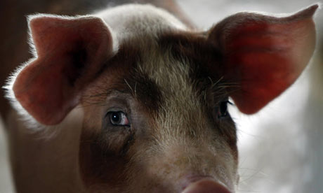 A pig is seen inside its enclosure at a pig farm in Ratchaburi province
