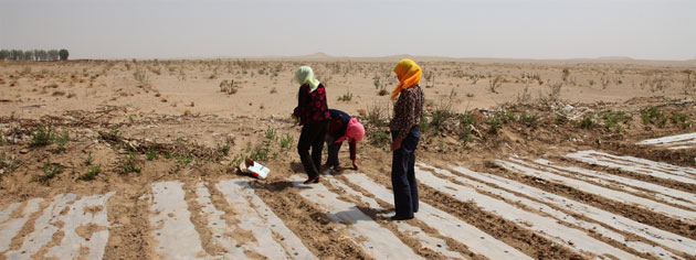 Minqin China: Farmers plant crops . the edge of the desert