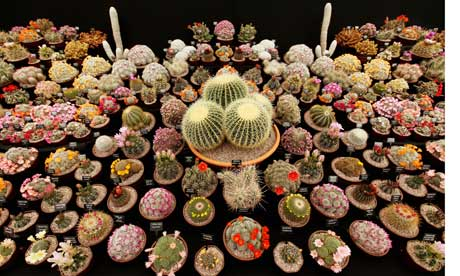 Cacti at the Chelsea flower shower