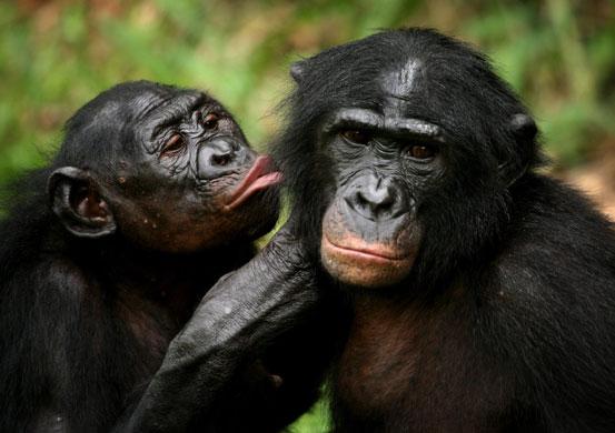 Imágenes bellas ¿Cuál te gusta más? Bonobo-Apes-Bonobo-apes-g-002
