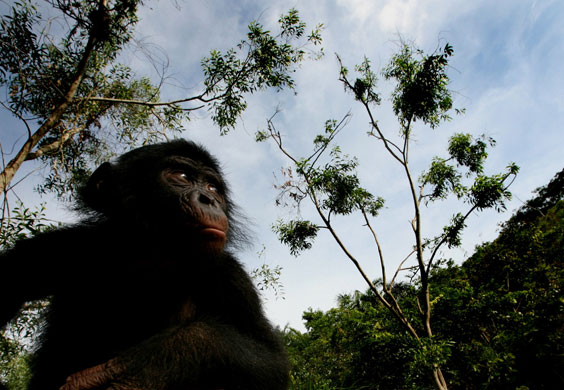 Imágenes bellas ¿Cuál te gusta más? Bonobo-Apes-A-bonobo-ape--003