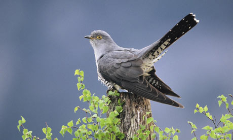The cuckoo has been added to the list of the UK's most threatened birds.