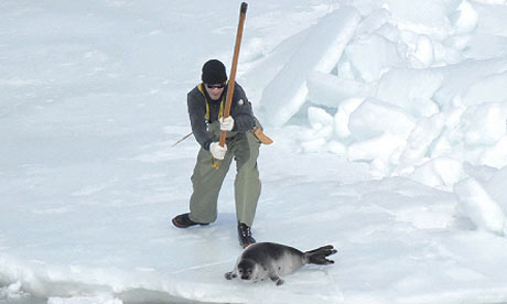 Seal clubbing in Canada. Photograph: International Fund of Protection of