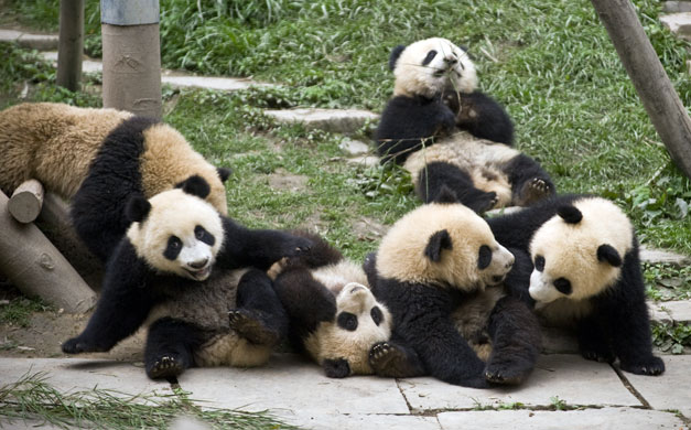 Bifengxia Panda breeding: Giant panda cubs at the Bifengxia Panda breeding centre in Sichuan