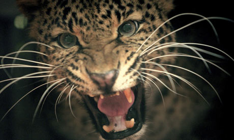 Week in Wildlife: A Javan leopard growls inside a cage  in Kaduhejo, Banten province, Indonesia