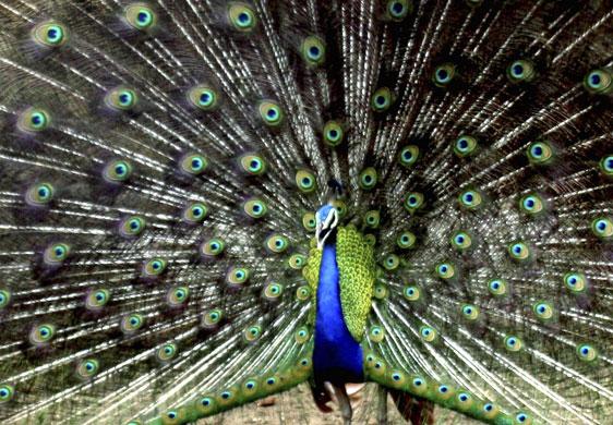 动物园的孔雀开屏