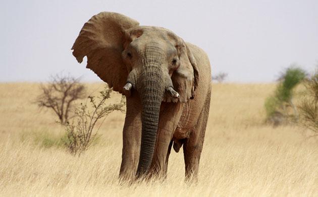 马里350-450头沙漠大象是非洲最北边地区的大象种群,习惯在极端干旱的