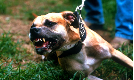 ... mauled and destroyed as 'weapon dog' owners train animals for fighting