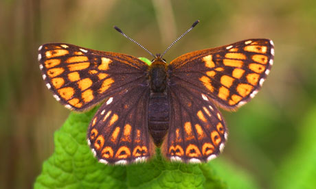 Butterfly lovers hail Duke of Burgundy&#39;s second coming ...