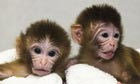 Macaque monkey twins Mito and Tracker