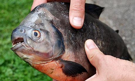 A piranha found in the river Torridge in Devon