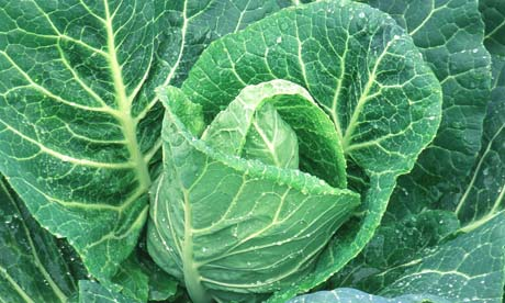 CABBAGE WHEELERS IMPERIAL SPRING CABBAGE MAY