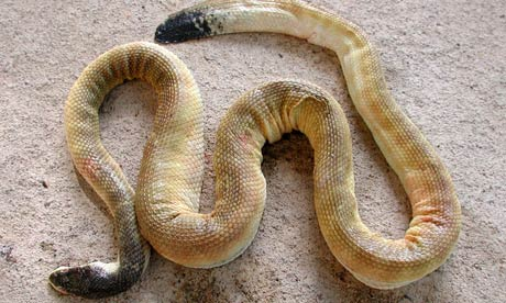 IMG:http://static.guim.co.uk/sys-images/Guardian/Pix/pictures/2009/8/6/1249570816817/Venomous-sea-snake-001.jpg