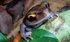 The Eastern Himalayas : New species discovered by WWF: Smith's litter frog