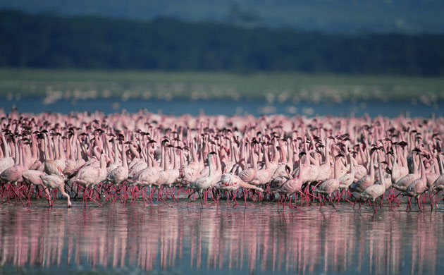 the endangered lesser flamingos that live in Africa's Great Rift valley