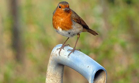 A Robin in Northern Road Allotments, Swindon