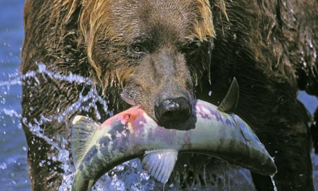 Bears Like to Eat Bears Like to Eat Salmon Raw
