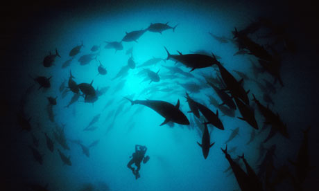A diver films a school of giant bluefin tuna
