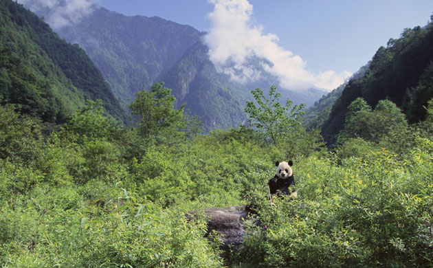 external image Giant-Panda-in-the-Forest-004.jpg