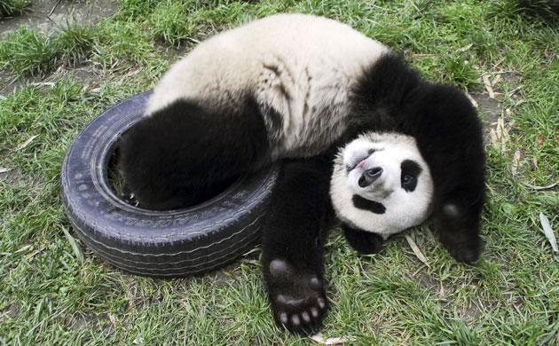 Giant Panda   SweetRiver