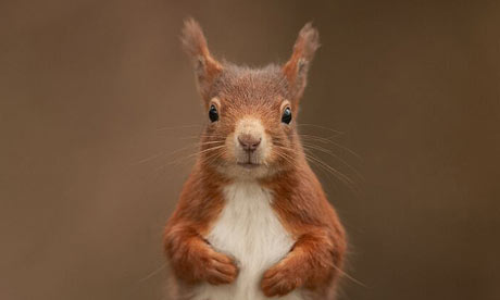 Red squirrel by Steward Ellett