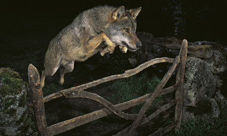 Storybook wolf which won the 10 000 prize photograph josé luis