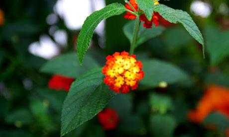 Tiny colourful flowers Lantana