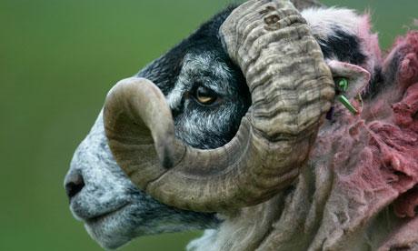 a ram or male sheep