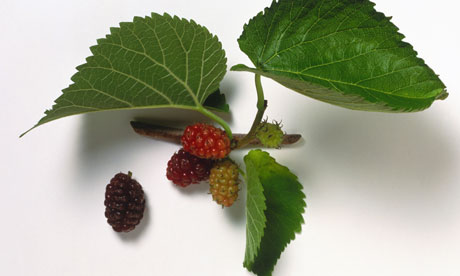 Living Off the Land: 52 Highly Nutritious, Wild-Growing Plants You Can Eat Stumped-Mulberry-tree-006