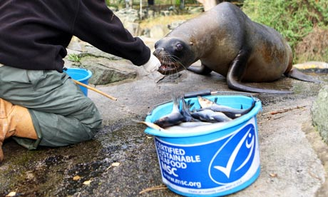 Miranda the sea lion eating MSC-certified Scottish herring at Edinburgh Zoo