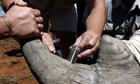 Rangers insert a GPS device into a rhino's horn in South Africa