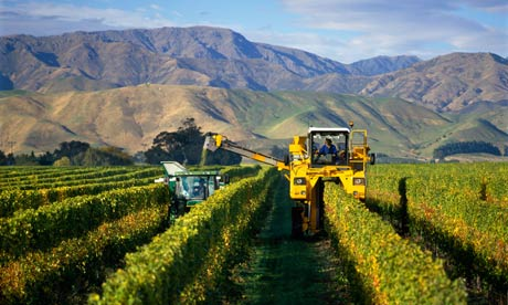 A vineyard in Marlborough New Zealand