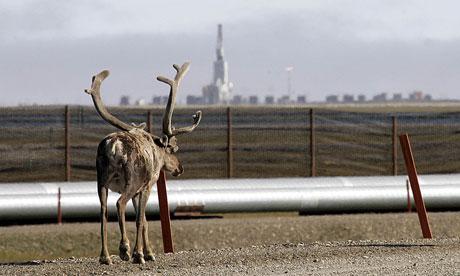 Caribou near a BP oil pipeline in Alaska