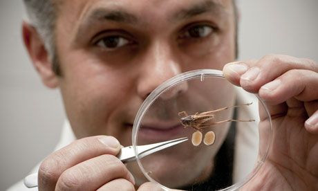 Behavioural ecologist Karim Vahed and a tuberous bush cricket, which has testes accounting for 14% of its body mass. Photograph: Richard Richards/AFP/Getty ... - Bush-cricket-and-its-test-006