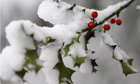 Snow on holly bush, Liverpool