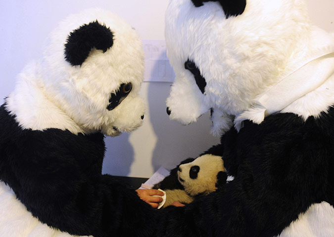 Panda conservation: Researchers dressed in panda costumes check the body temperature of a cub
