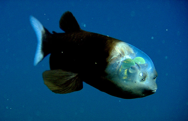 barrel eye fish