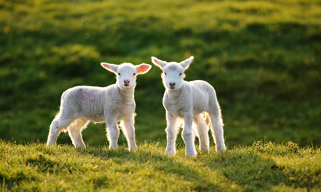 http://static.guim.co.uk/sys-images/Guardian/Pix/pictures/2010/2/12/1265968459725/Lambs-001.jpg