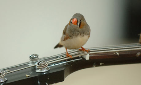 Zebra finches make music at the Barbican