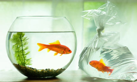 Goldfish in a bowl - photo#18