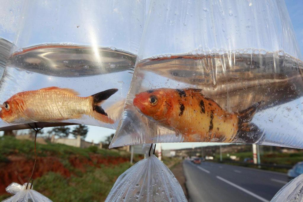 Goldfish for sale on Algiers street