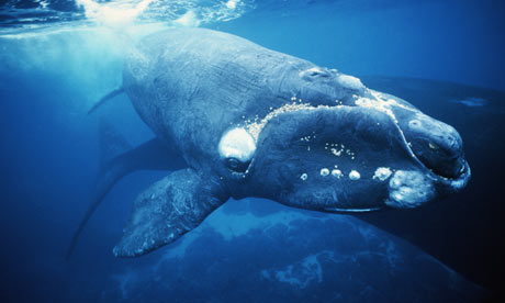 Southern right whales (Eubalaena australis) are slow swimmers which made them easy prey for whalers