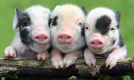 http://static.guim.co.uk/sys-images/Guardian/Pix/pictures/2010/3/22/1269281561112/Worlds-smallest-piglets-a-001.jpg
