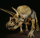 A Triceratops skeleton