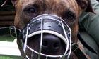 A pit bull wearing a muzzle