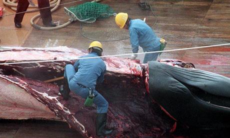 Trabalhadores cortam baleia em navio japonês. Foto de John Cunningham/Rex Features/The Guardian