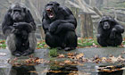 Chimpanzees waiting to be fed