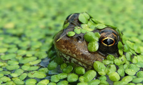external image A-common-frog.-001.jpg
